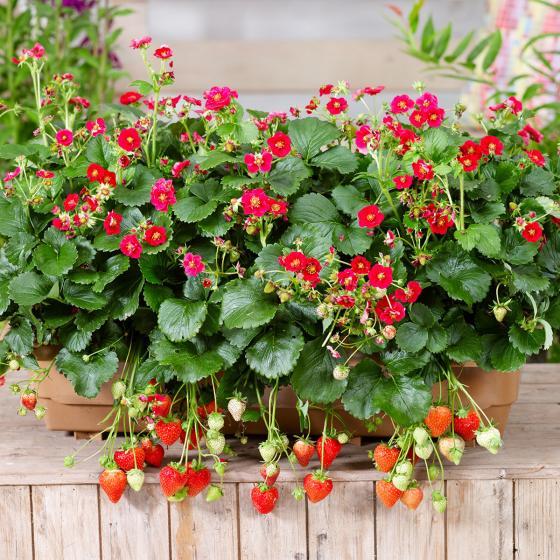 Rotblütige Balkon-Erdbeere, im ca. 11 cm-Topf   #2