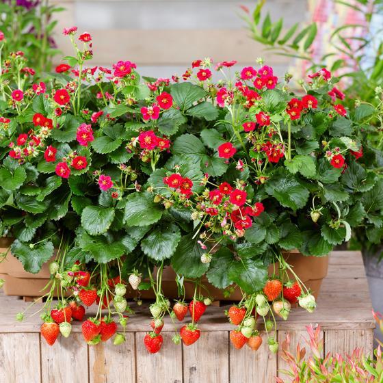 Balkon-Erdbeere, rotblütig, im ca. 11 cm-Topf | #2