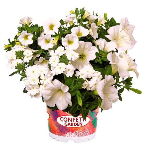 Trio Confetti Garden™ White Win, im ca. 12 cm-Topf | #2