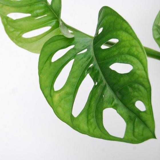Fensterblatt Monkey Leaf, im ca. 12 cm-Topf | #2