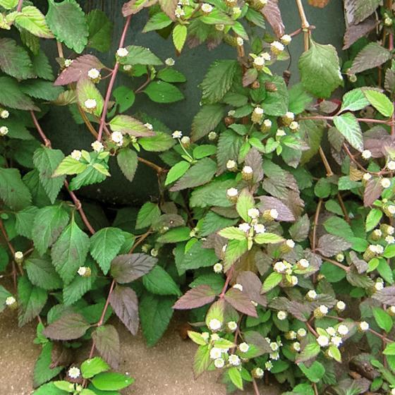 Kräuterpflanze Süsskraut Colada, im ca. 12 cm-Topf | #2