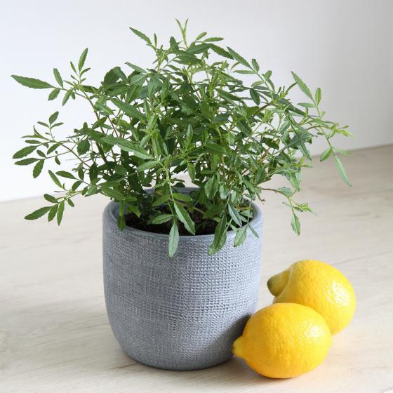 BIO Kräuterpflanze Zitronen-Tagetes, im ca. 12 cm-Topf | #2