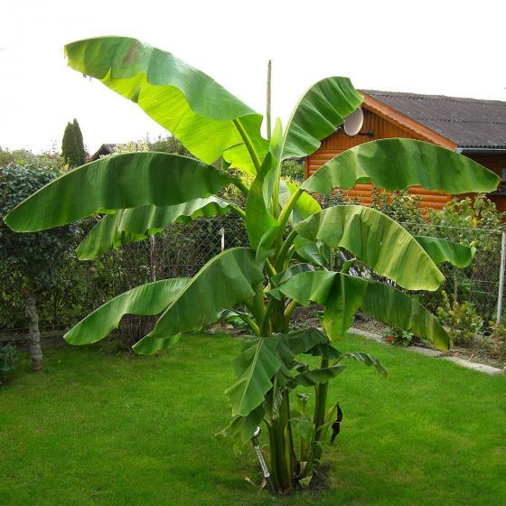 Bio-Banane, winterhart | #2
