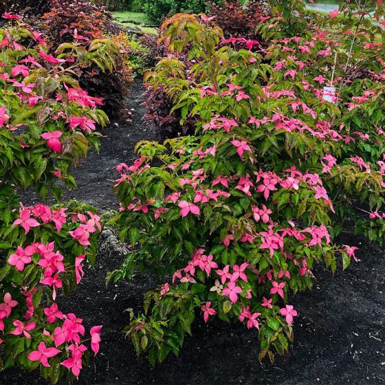 Blumenhartriegel Scarlet Fire®, im ca. 23 cm-Topf | #2