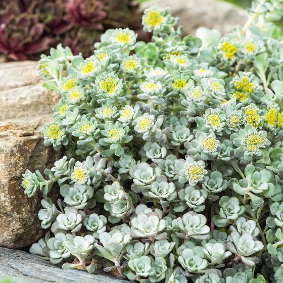 Garten-Fetthenne Cape Blanco, im ca. 9 cm-Topf | #2