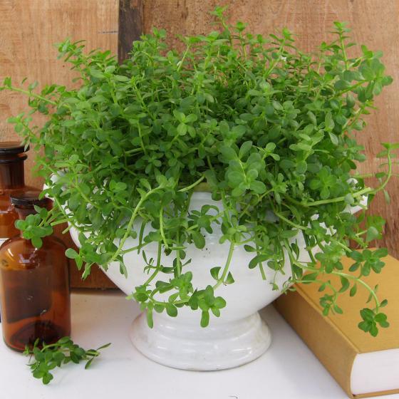 BIO Kräuterpflanze Gedächtnis-Stütze Brahmi, im ca. 12 cm-Topf | #2
