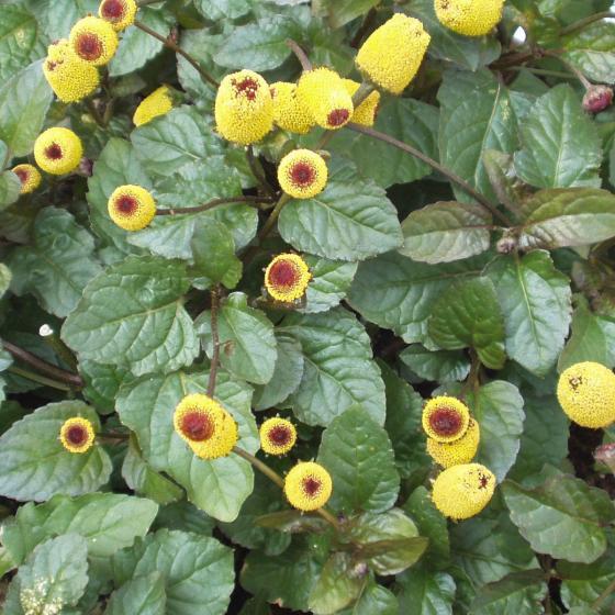 BIO Kräuterpflanze Prickelknöpfchen, im ca. 12 cm-Topf | #2