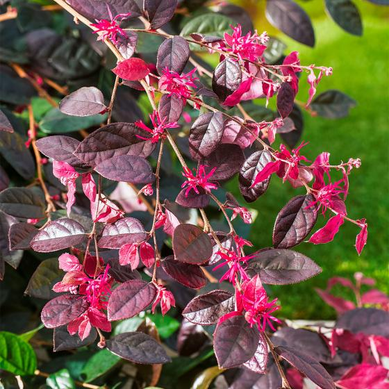 Riemenblüte Ever Red, im ca. 28 cm-Topf | #2