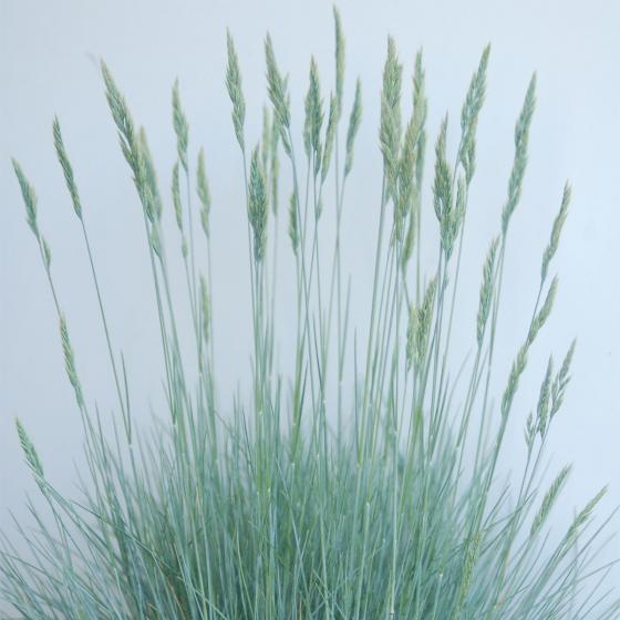 Silber-Blaue Segge, im ca. 14 cm-Topf | #2