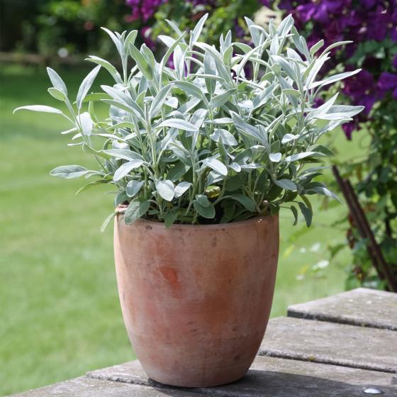 BIO Kräuterpflanze Marzipan-Salbei, im ca. 12 cm-Topf | #2