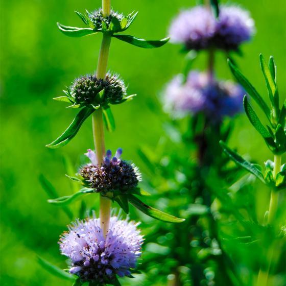 Englische Wasserminze, violett, im ca. 9 cm-Topf | #2