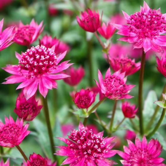 Große Sterndolde Pink Joyce | #2