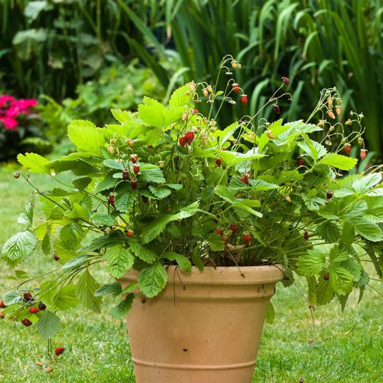 Erdbeere Waldfee, im ca. 9 cm Topf | #2