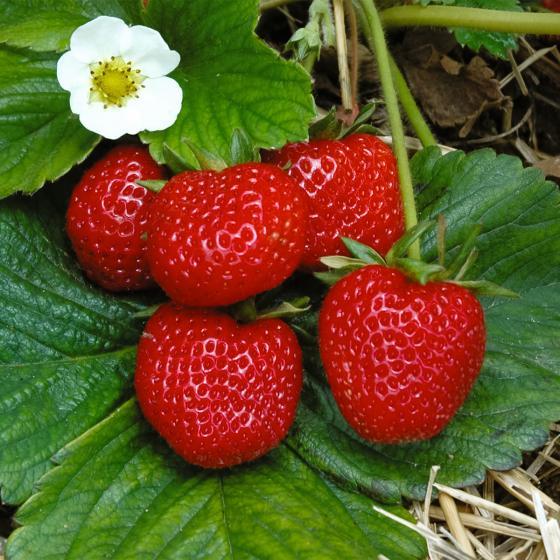 Erdbeere Rimona, im ca. 9 cm Topf | #2