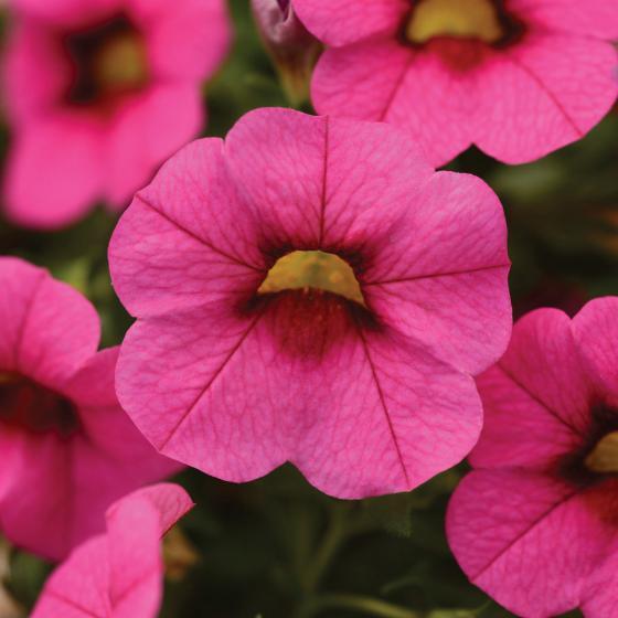 Zauberglöckchen, pink,  im ca. 12 cm-Topf | #2