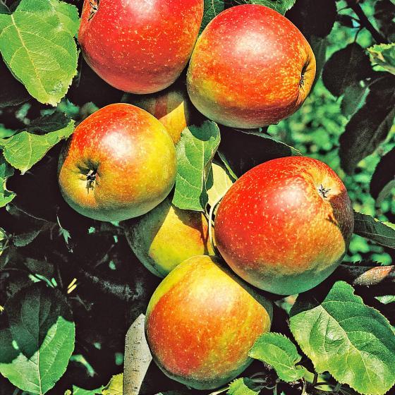 Apfel Roter Boskoop, im ca. 26 cm-Topf | #2