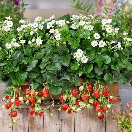 Weißblütige Balkon-Erdbeere, im ca. 11 cm-Topf   #2