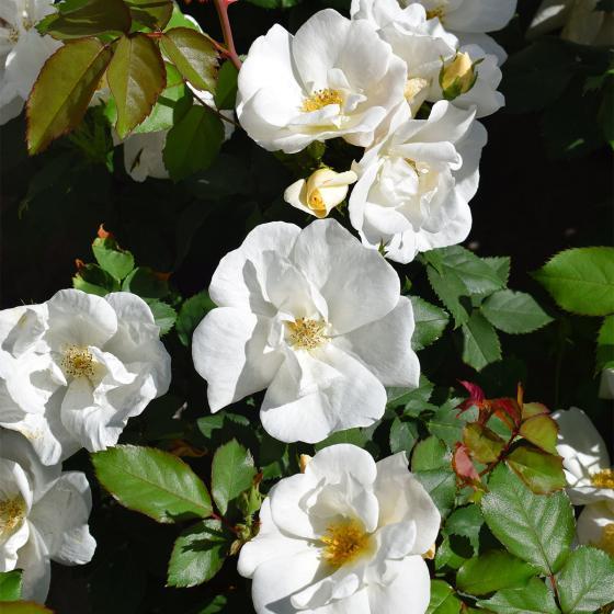 Strauchrose White Knock Out®, im ca. 22 cm-Topf | #2