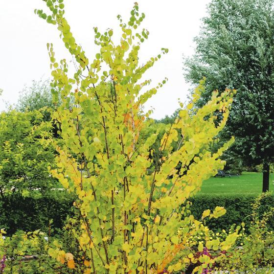 Lebkuchenbaum, im ca. 25 cm-Topf | #2