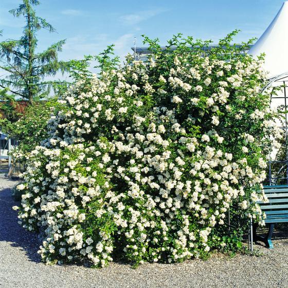 Büschelrose, weißblühend, im ca. 19 cm-Topf | #2