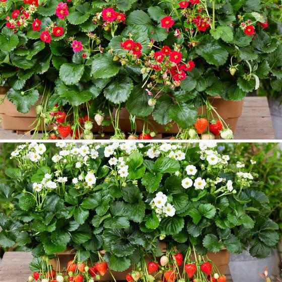 Set Balkon-Erdbeeren, im ca. 11 cm-Topf | #2