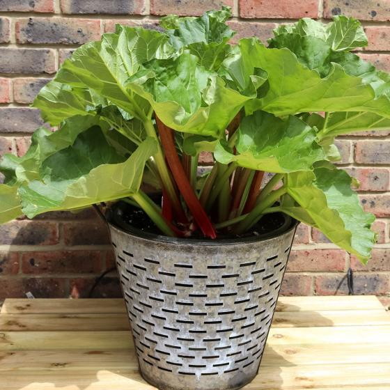 Erdbeer-Rhabarberpflanze Sanvitos Red, im ca. 19 cm-Topf | #2