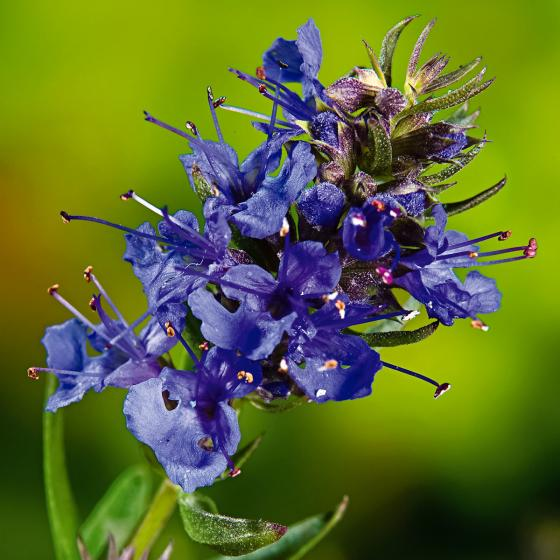 Kräuterpflanze Ysop Blues, im ca. 13 cm-Topf | #2