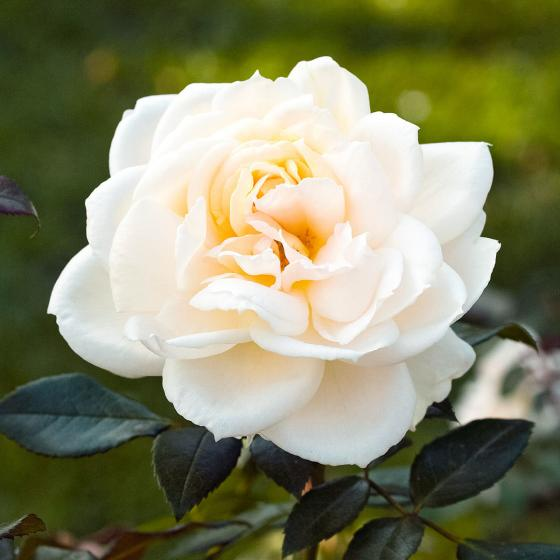 Edelrose Anastasia®, im ca. 23 cm-Topf | #2