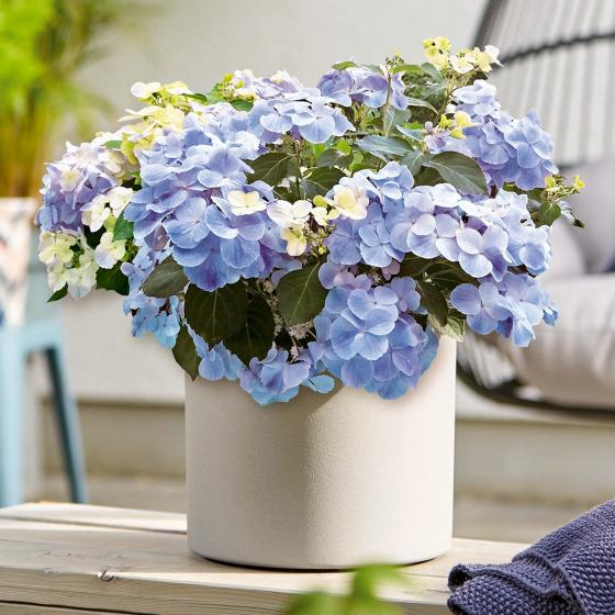 Gartenhortensie French Bolero, blau, im ca. 13 cm-Topf | #2