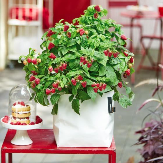 Himbeere BrazelBerry® Raspberry Shortcake®, im ca. 22 cm-Topf   #2