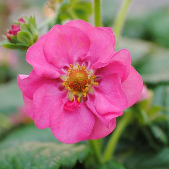 Rosablütige Balkon-Erdbeere, im ca. 11 cm-Topf | #2