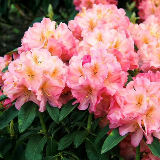 Historischer Rhododendron Hildegard M., im ca. 23 cm-Topf | #2