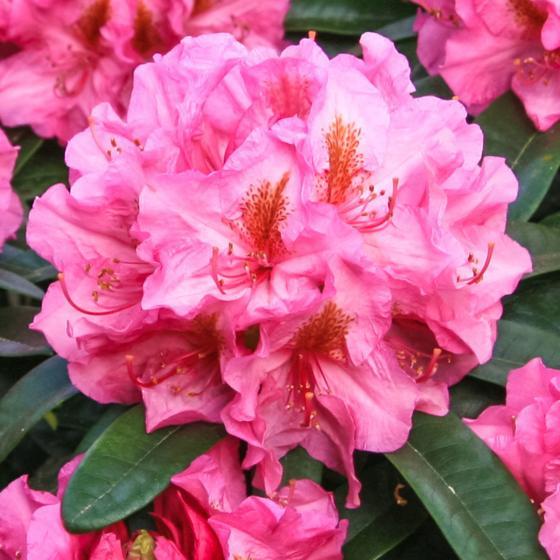 Historischer Rhododendron Charlotte B., im ca. 23 cm-Topf | #2