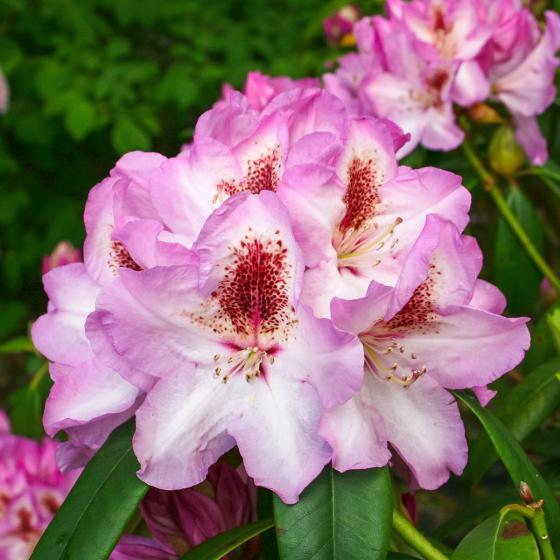 Historischer Rhododendron Emma P., im ca. 23 cm-Topf | #2