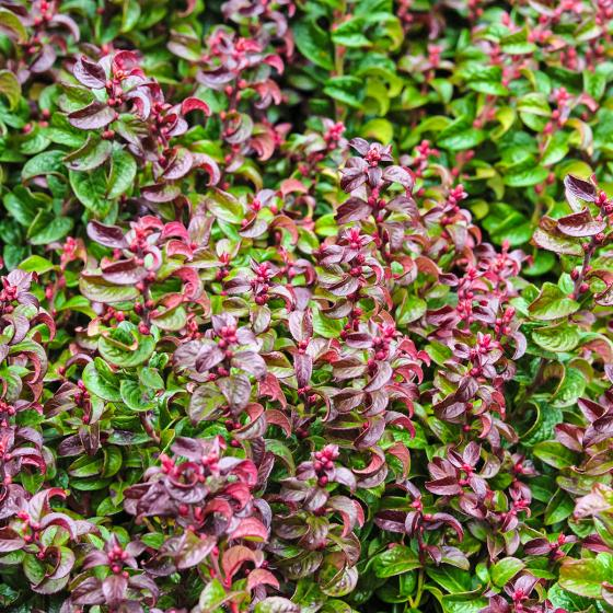 Lavendelheide, rot, im ca. 24 cm-Topf | #2