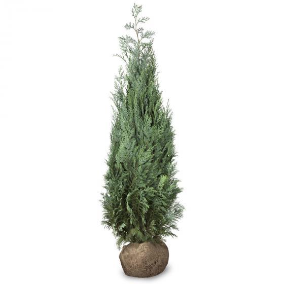 Großgebinde Gartenzypresse 100 - 120 cm, 30 Pflanzen | #2
