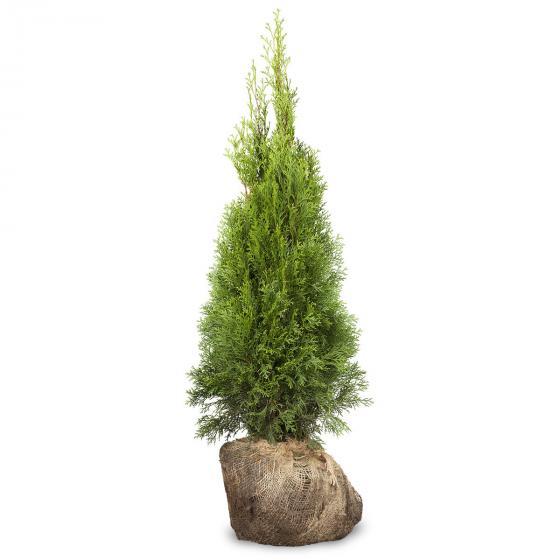 Großgebinde Lebensbaum Smaragd 80 - 100 cm, 100 Pflanzen | #2