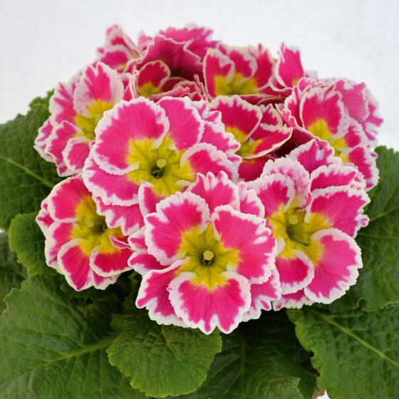 Zuckerguss-Primeln Sacarina Rose, 3 Stück, im ca. 10,5 cm-Topf | #2