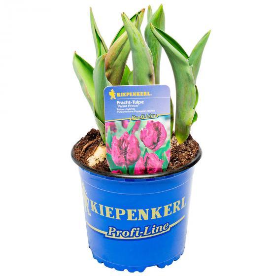 Pinke Pracht Tulpe, im ca. 13 cm-Topf | #2