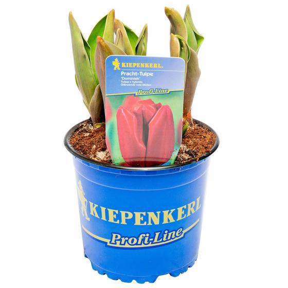 Rote Pracht Tulpe, im ca. 13 cm-Topf | #2