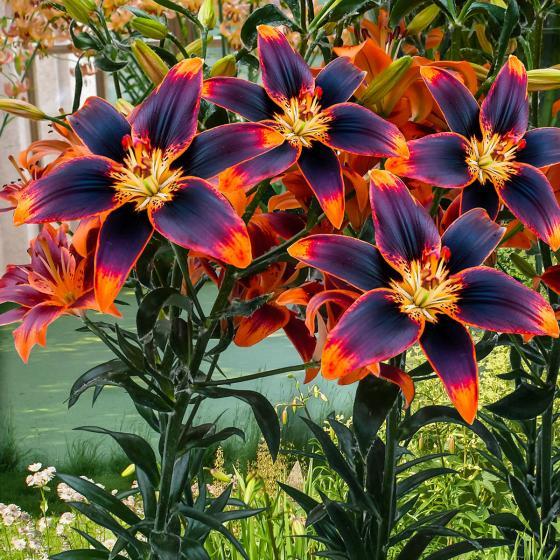 Asiatische Lilie Forever Susan | #2