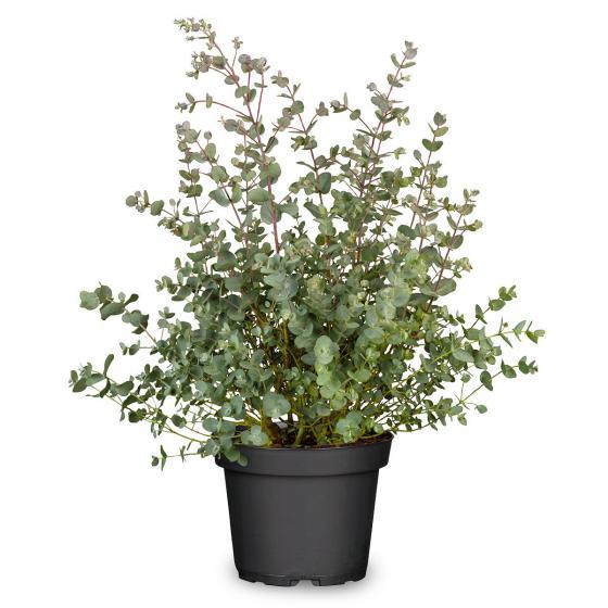 Eukalyptus-Busch, im 17 cm-Topf | #2