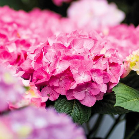 Hortensie Diva fiore®, rosa, im ca. 22 cm-Topf   #2