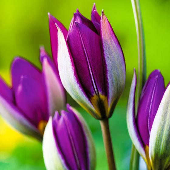 Tulpe Persian Pearl | #2