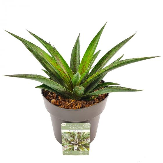 Mangave Pineapple Express, im ca. 15 cm-Topf   #2