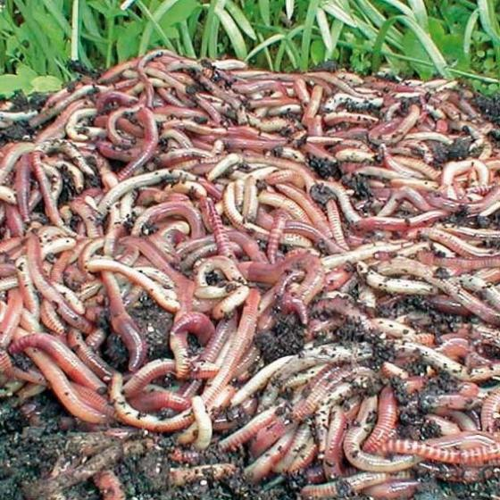 Kompostwürmer, Gartenwürmer, Regenwürmer, 250 g | #2