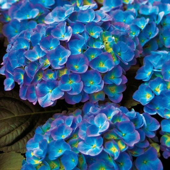 Chrysal Hortensia Blau, 350 g | #2