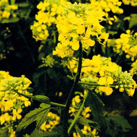 Bodenkur Gelbsenf Samen, 0,5 kg | #2