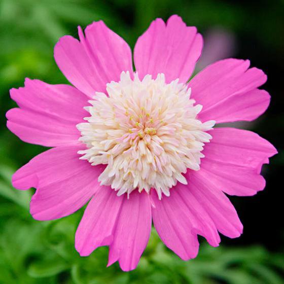 Schmuckkörbchensamen Pink Popsocks | #2