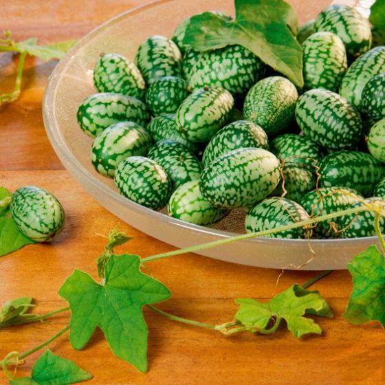 BIO Gemüsepflanze Mexikanische Minigurke | #2